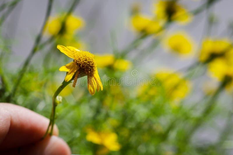 死小的黄色雏菊花在人的手上 免版税库存图片