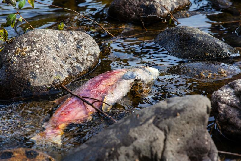 死的产生的和平的红鲑鱼在亚当斯河 库存图片