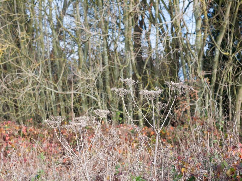 死的伞形科植物花植物干燥褐色偷偷靠近秋天没有叶子s 免版税库存照片