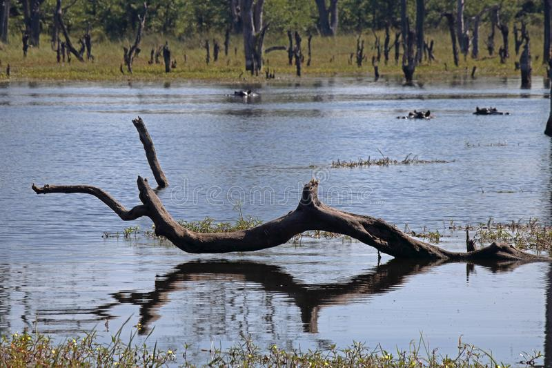 死的分支的反射在池水的与河马的在背景中 免版税库存照片