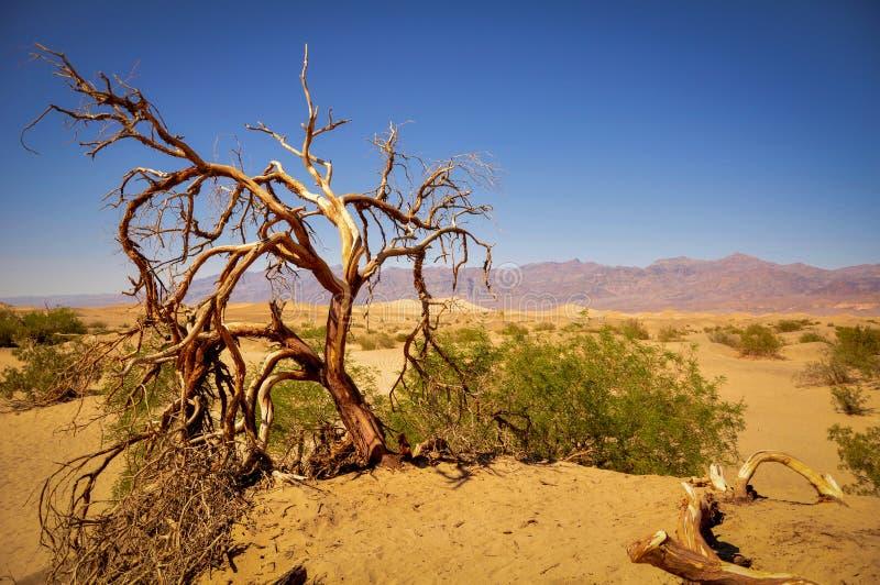 死的扭转的树在豆科灌木平的沙丘沙漠  库存照片