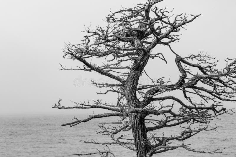 死的柏树 库存图片