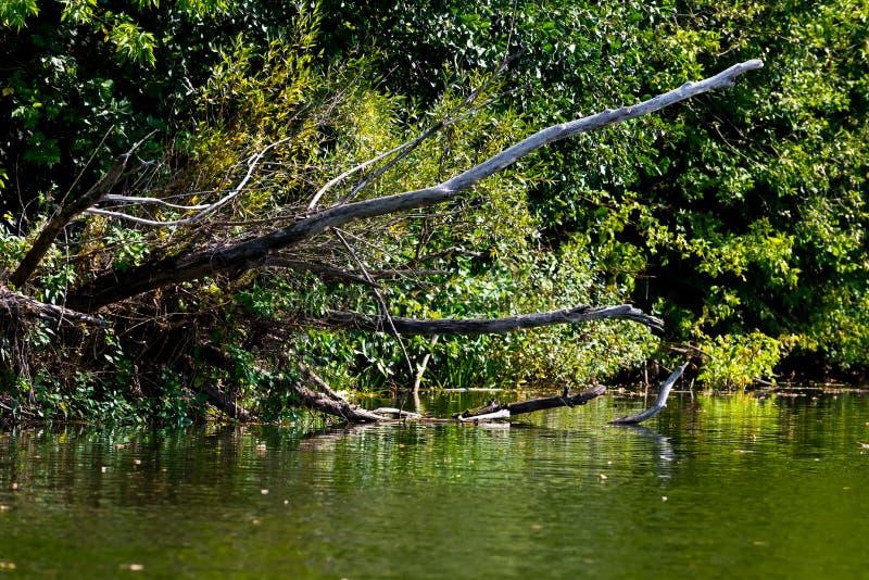 死的树和分支在水中 库存图片