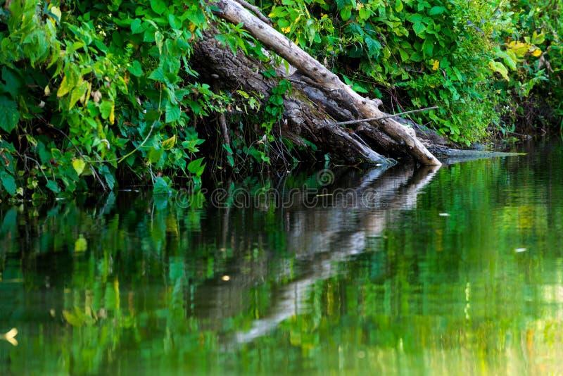 死的树和分支在水中 免版税库存图片