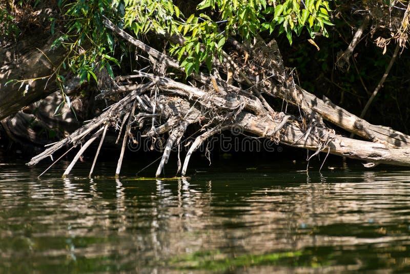 死的树和分支在水中 免版税库存照片