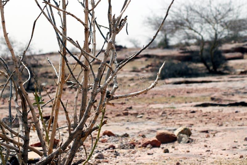 死的树在沙漠夏天 库存图片