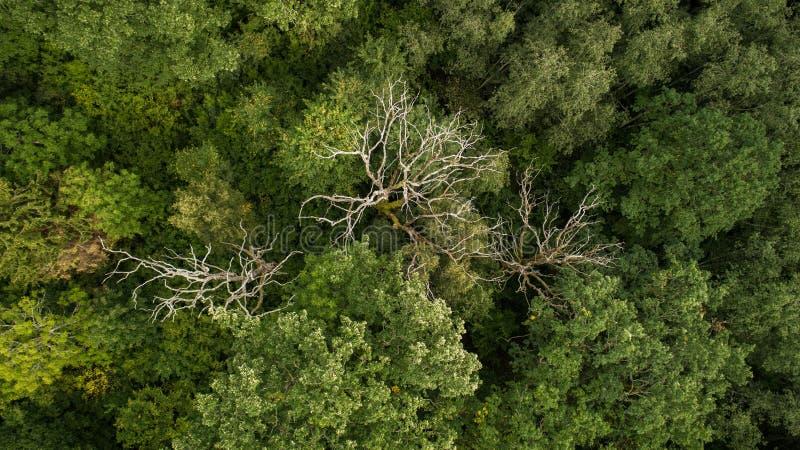 死的树寄生虫摄影在森林里 库存照片