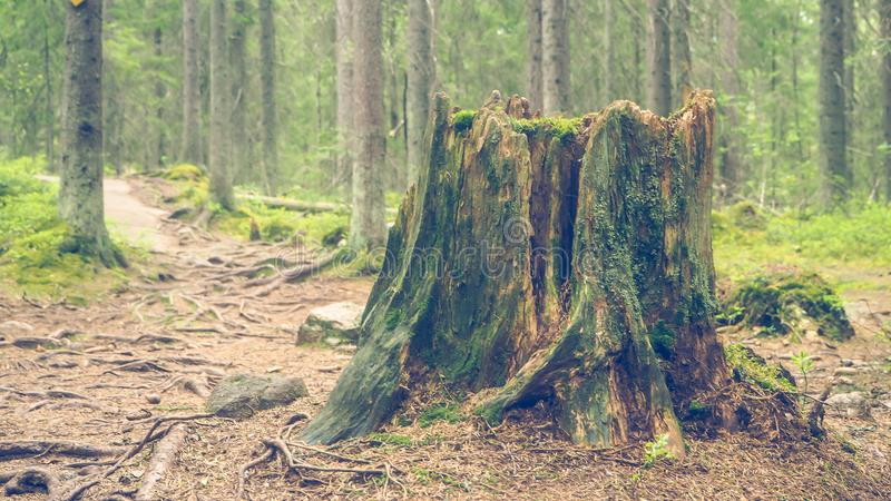 死的树桩在芬兰 免版税库存图片