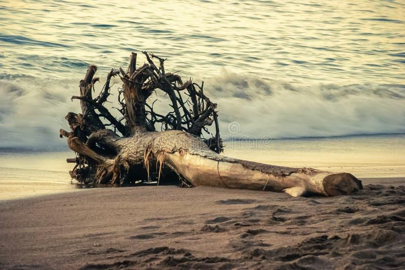 死的树由于波浪和海流和说谎的修改过的形状在与海的岸背景的 免版税库存图片