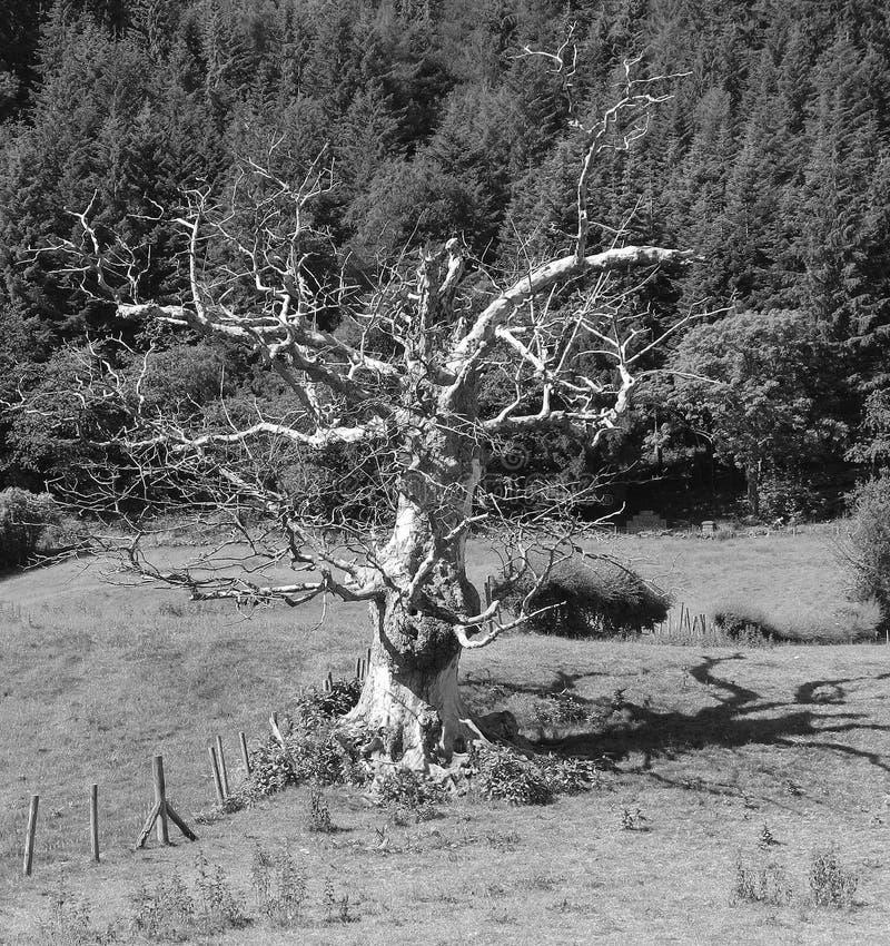 死的树,明亮的阳光,令人毛骨悚然的阴影,单色 图库摄影