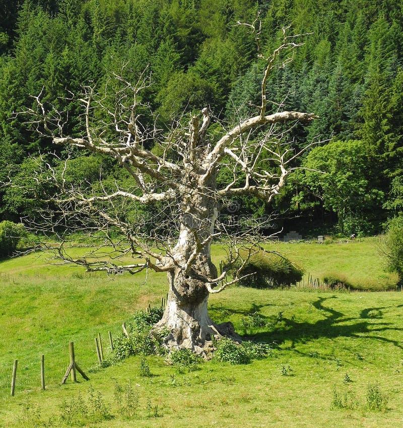 死的树,明亮的阳光,令人毛骨悚然的阴影 免版税库存照片