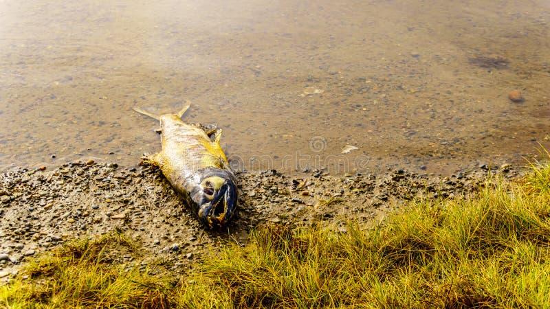 死的桃红色三文鱼在产生以后在顺流拉斯金水坝的梯级河在使命附近的Hayward湖,BC,加拿大 库存照片
