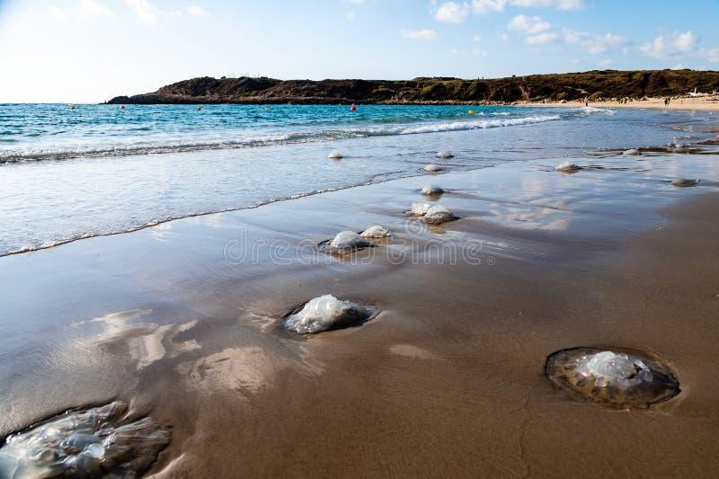 死的水母在海滩洗涤了在Nchsholim,以色列 免版税库存图片