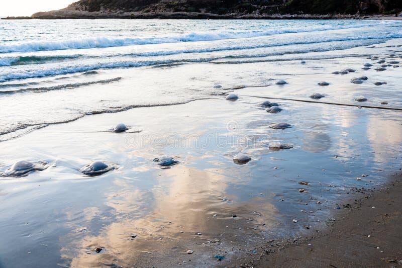 死的水母在海滩洗涤了在Nchsholim,以色列 免版税图库摄影