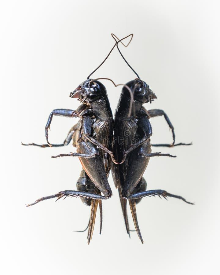 死的蟋蟀反射垂直 库存图片