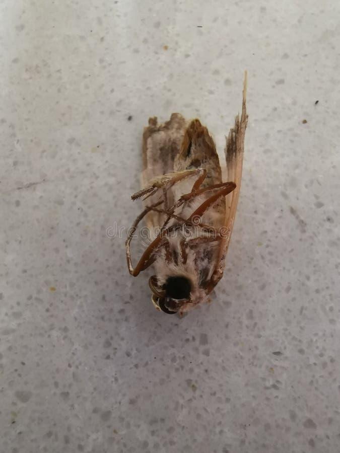 死的飞蛾昆虫 库存照片