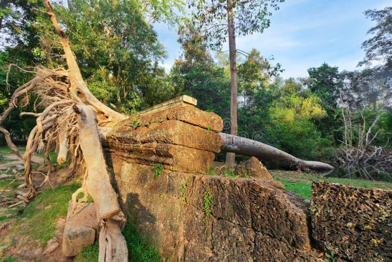 残破的大树在吴哥窟地区的密林森林里 免版税库存图片