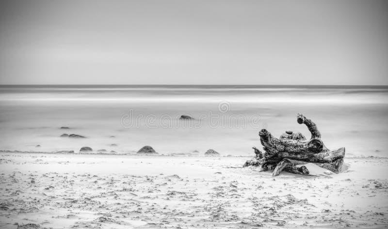 残破的树干以黏附从沙子的其余根由海 库存图片