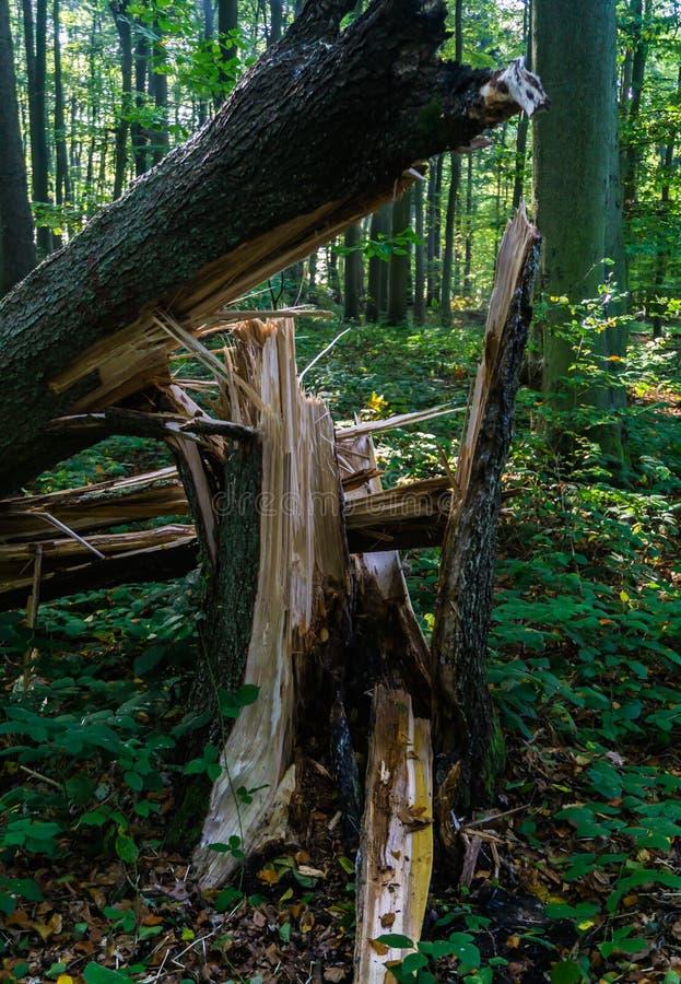 残破的树词根在森林里 库存照片