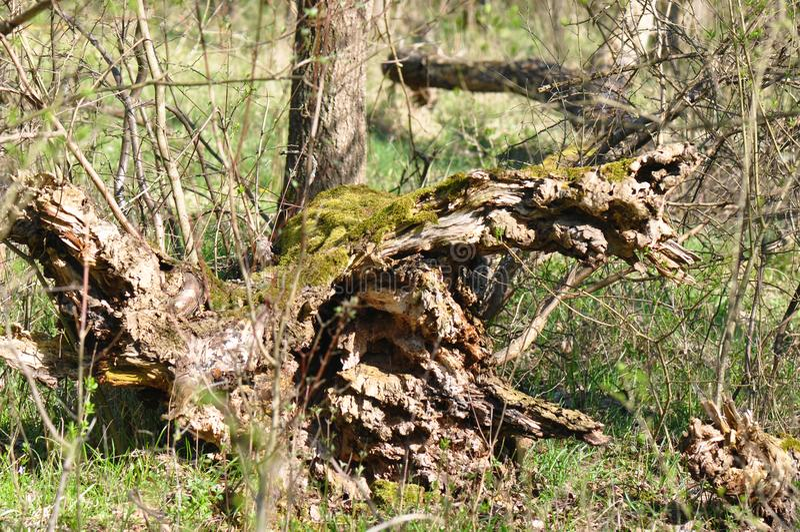 残破的老树干 库存图片