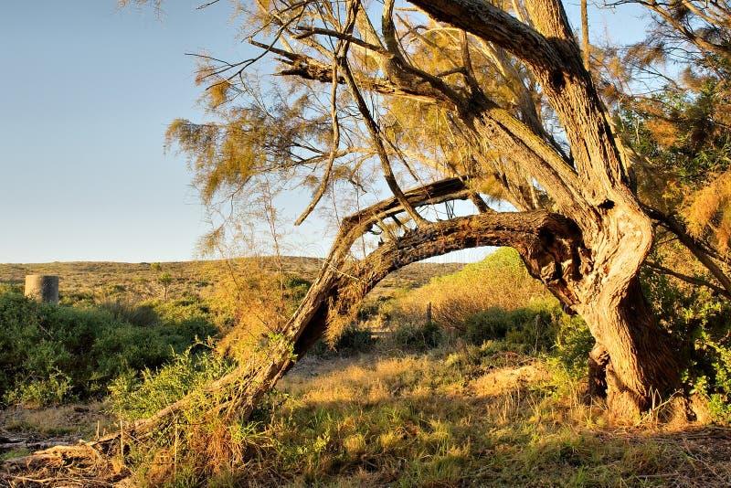 残破的轻的日落结构树 免版税库存图片