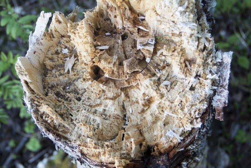 残破的树干 库存照片
