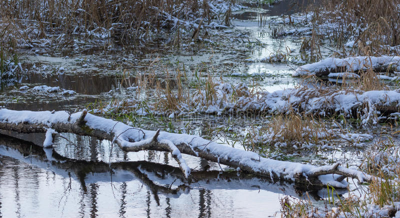 残破的桦树树干雪包裹了说谎在水 库存照片