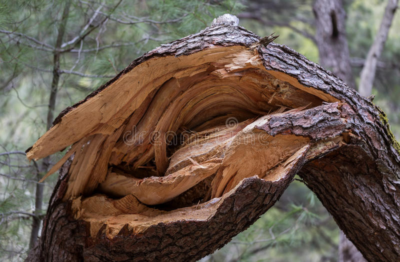 残破的赤松树干 库存图片