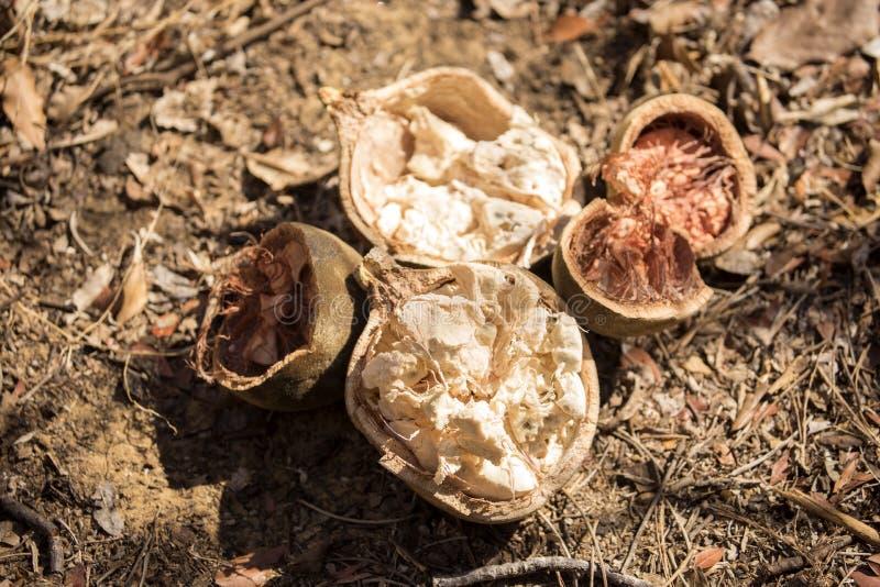 残破的猴面包树果子, Ankarana,马达加斯加 免版税库存照片