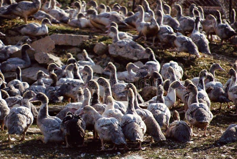 养殖在法国的鹅 免版税库存图片