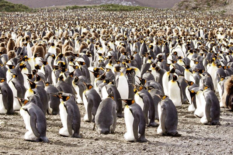 殖民地企鹅国王 免版税库存照片