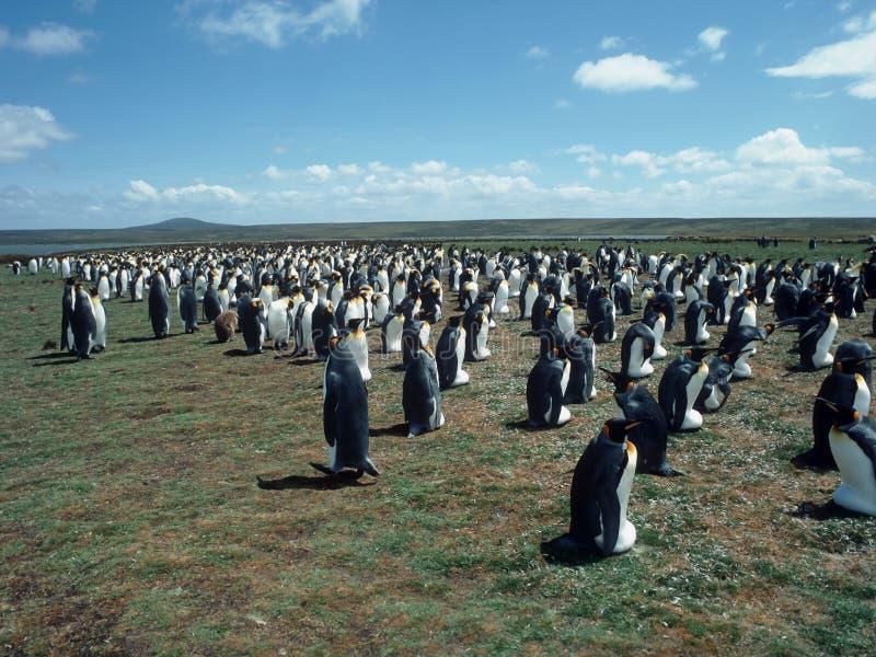 殖民地企鹅 免版税库存图片