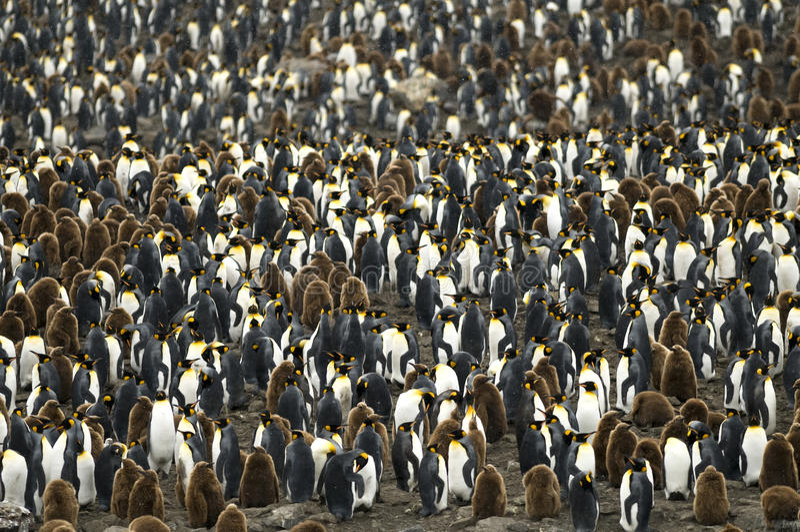 殖民地拥挤国王大企鹅群 免版税库存图片