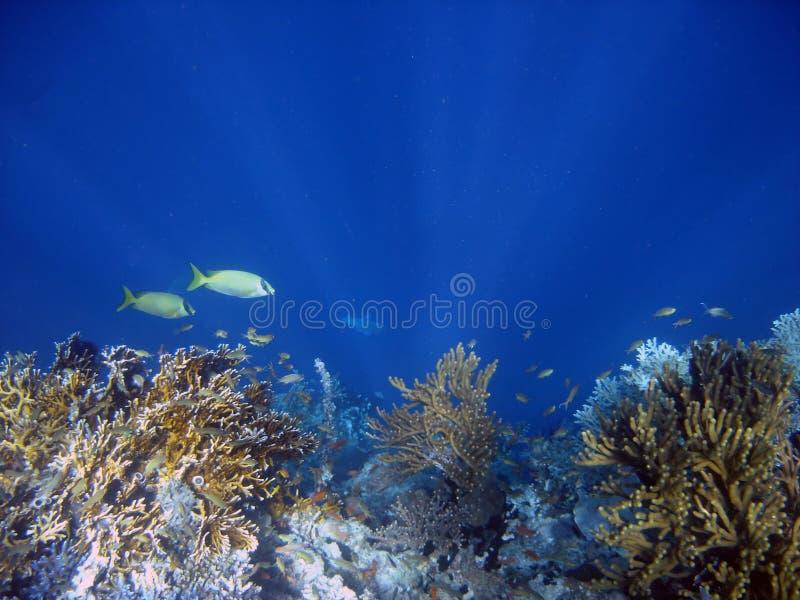 殖民地珊瑚鱼 库存照片