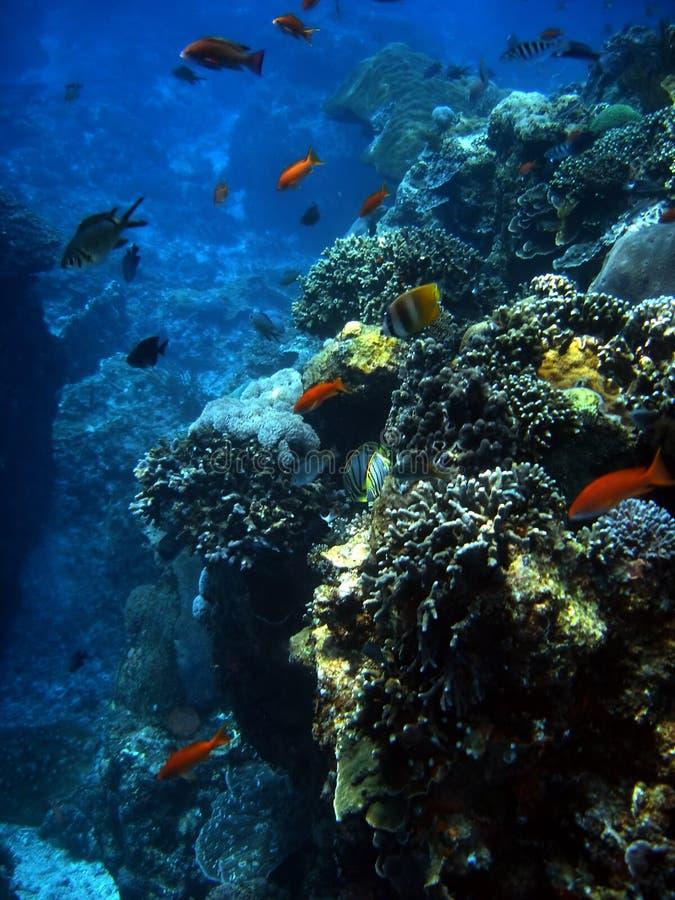 殖民地珊瑚鱼 库存图片