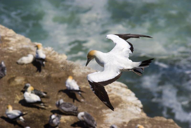 殖民地飞行gannet nz 图库摄影