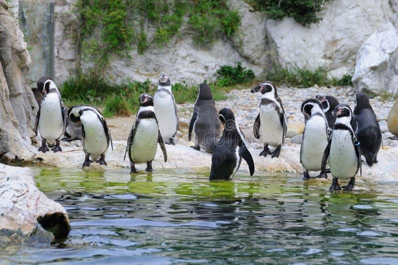 殖民地magellanic企鹅 免版税图库摄影