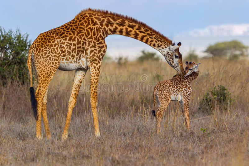 母亲亲吻婴孩的马塞人长颈鹿 库存照片