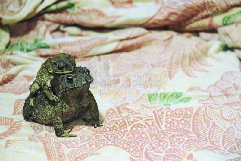 母亲共同的蟾蜍和她的婴孩 免版税库存图片