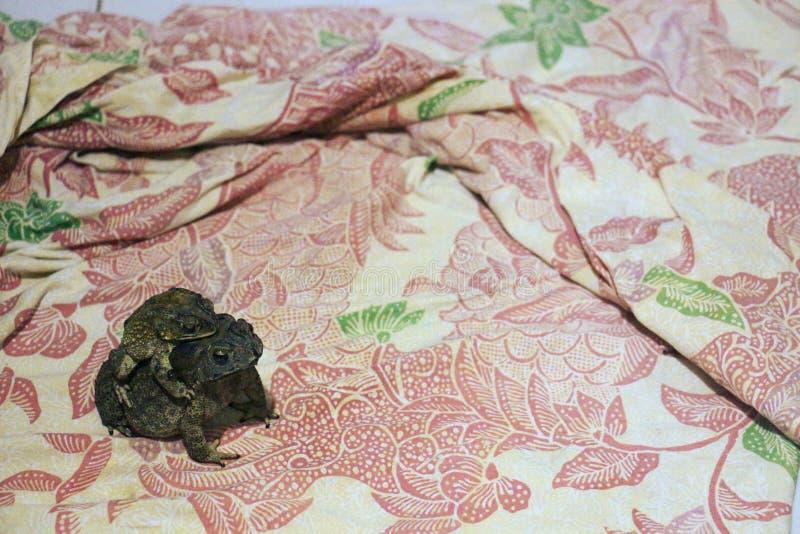 母亲共同的蟾蜍和她的婴孩 免版税图库摄影