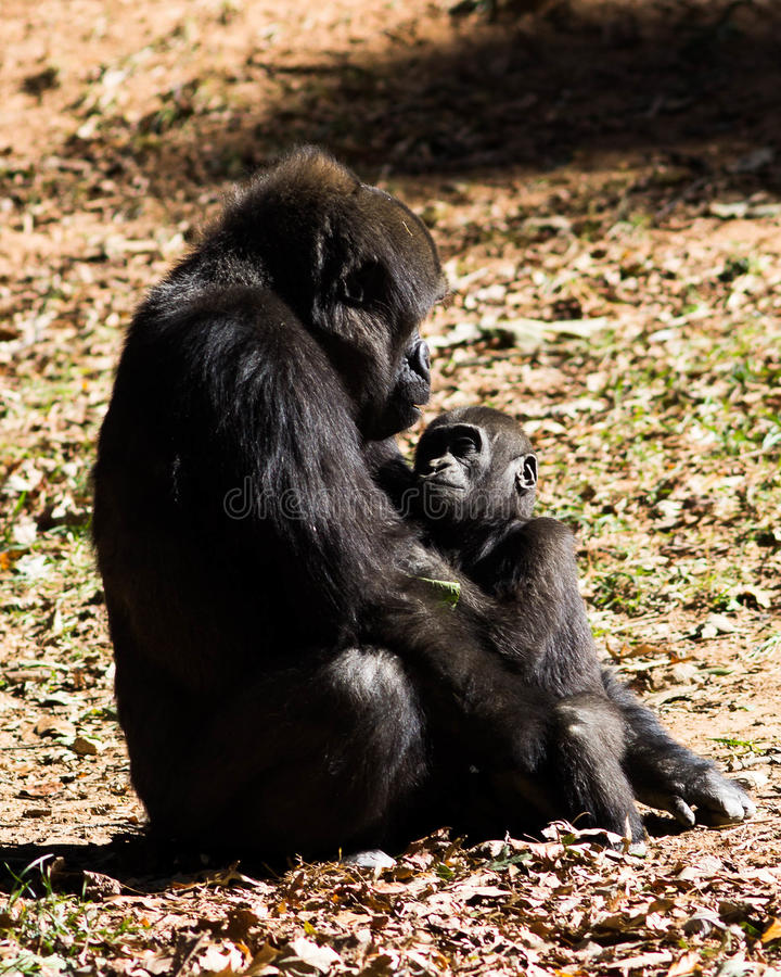 母亲和儿童大猩猩 免版税库存图片