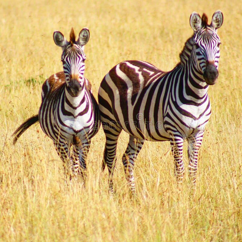 母亲和儿童斑马在原野 免版税图库摄影