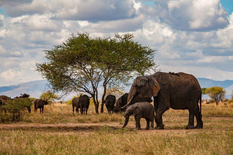 母亲和婴孩大象在塔兰吉雷国家公园 免版税库存照片