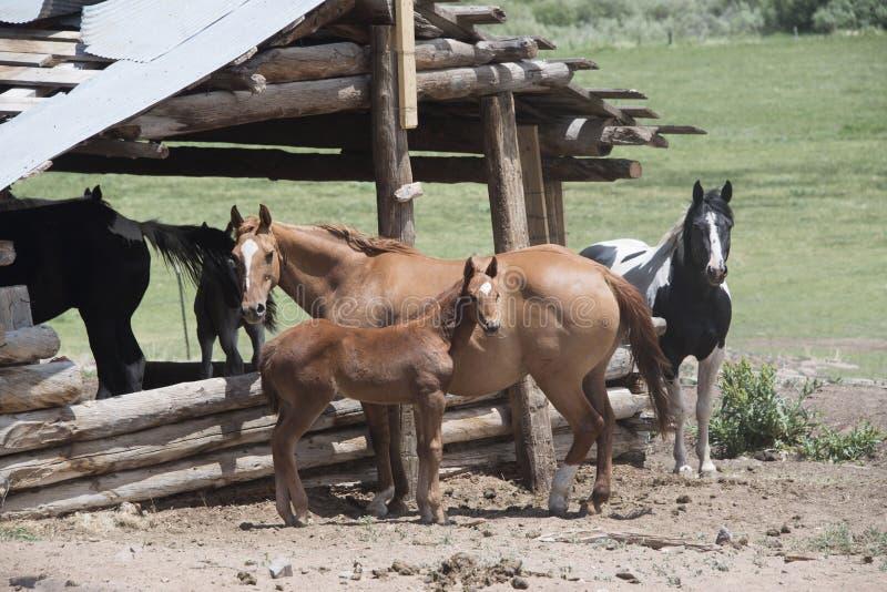 母亲和婴孩马驹小雌马马和油漆马在老原木小屋槽枥 免版税库存照片
