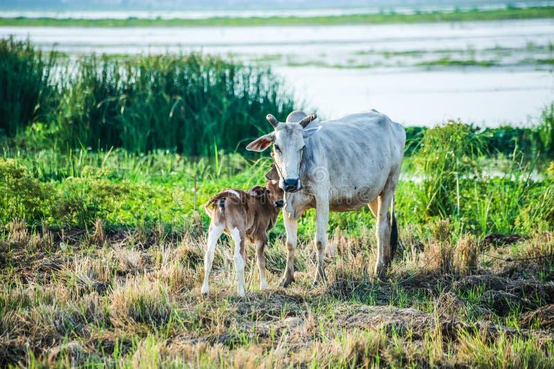 母亲和孩子母牛在河附近站立 库存照片