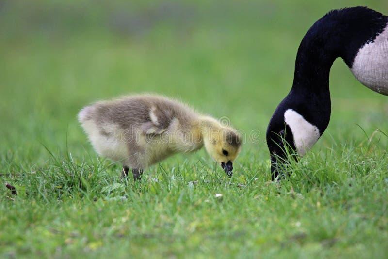 母亲和小鹅 免版税库存照片