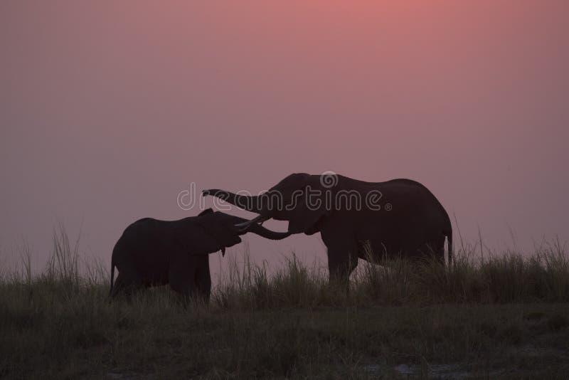 母亲和婴孩大象剪影  库存图片