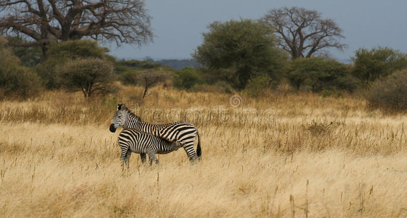 母亲和婴孩平原斑马 免版税库存照片