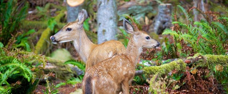 母亲和婴孩长耳鹿在不列颠哥伦比亚省加拿大 库存图片