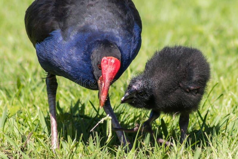 母亲哺养的婴孩Pukeko 库存照片